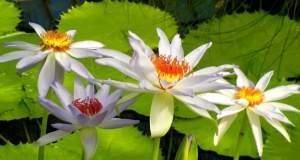Nymphaea 'Kew's Kabuki' © onlineflowergarden.com