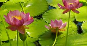 Nymphaea carpentariae 'Julia Leu'