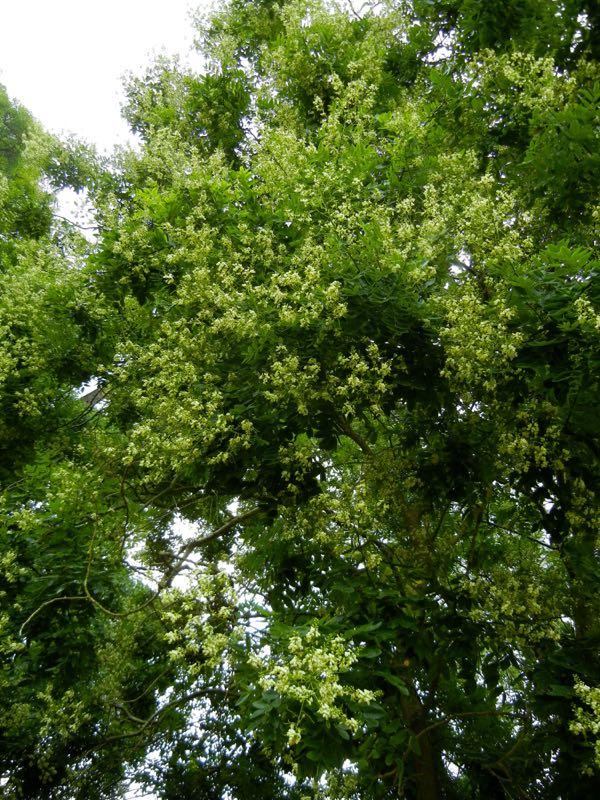 Styphnolobium japonicum, japanese pagoda tree