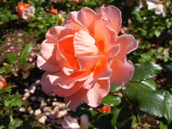 Jack's Wish Rose at Regent's Park