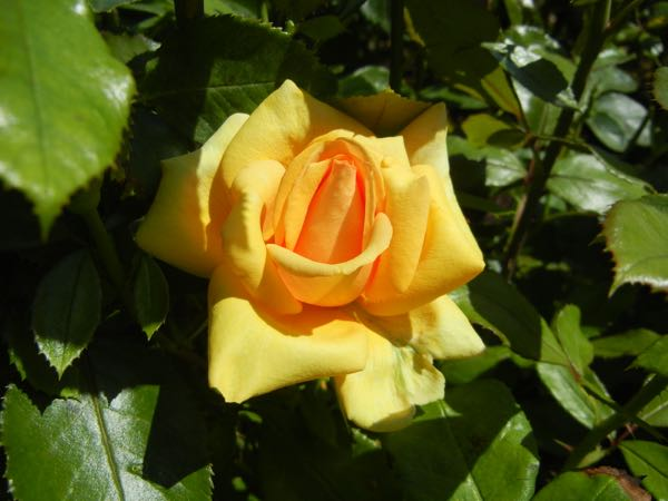 'Simply the Best' Rose
