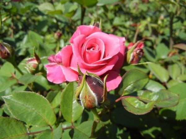 'Charisma' Rose