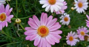 Argyranthemum frutescens Molimba 'Pink'