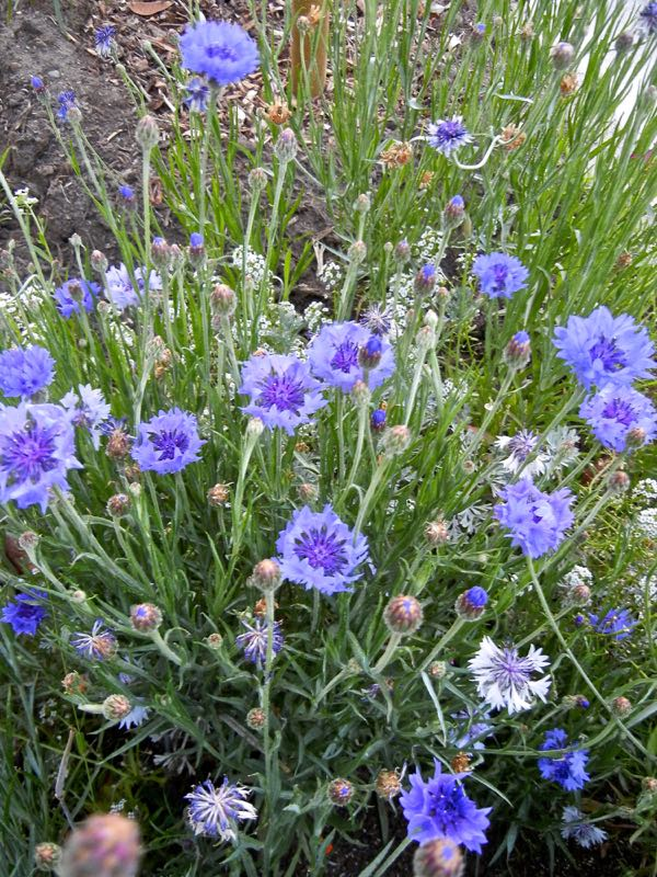 Centaurea cyanus, Batchelor's Button