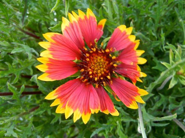 Gaillardia aristata 'Arizona Sun'