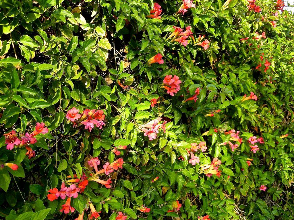Scarlet Trumpet Vine Distictis buccinatoria, Amphilophium Buccinatorium