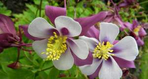 Aquilegia caeruela 'Swan Lavender'