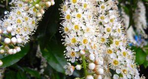 Prunus serotina, Black Cherry