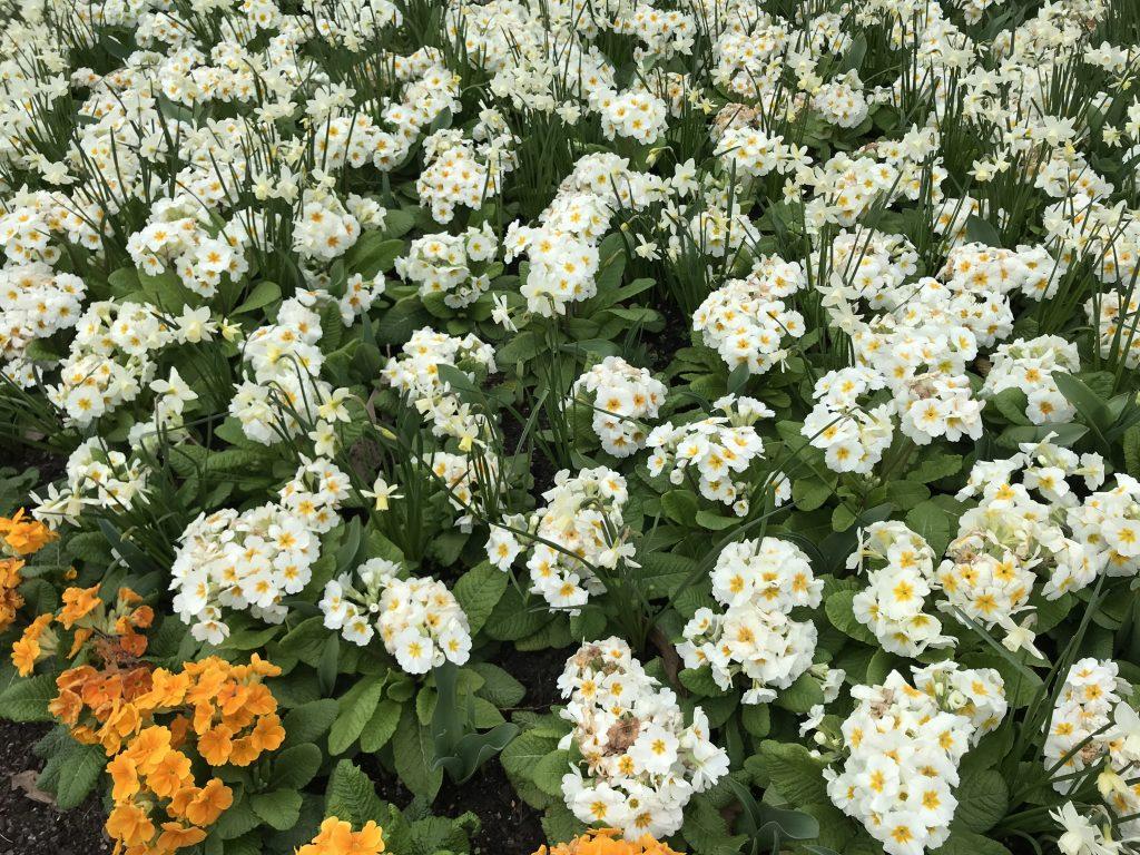 Primula vulgaris or Primrose
