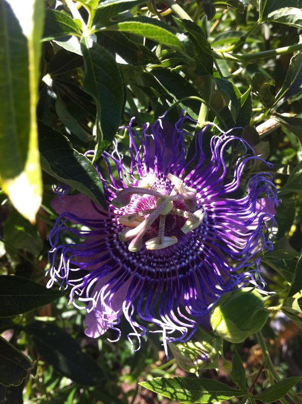 Passiflora 'Lavender Lady'