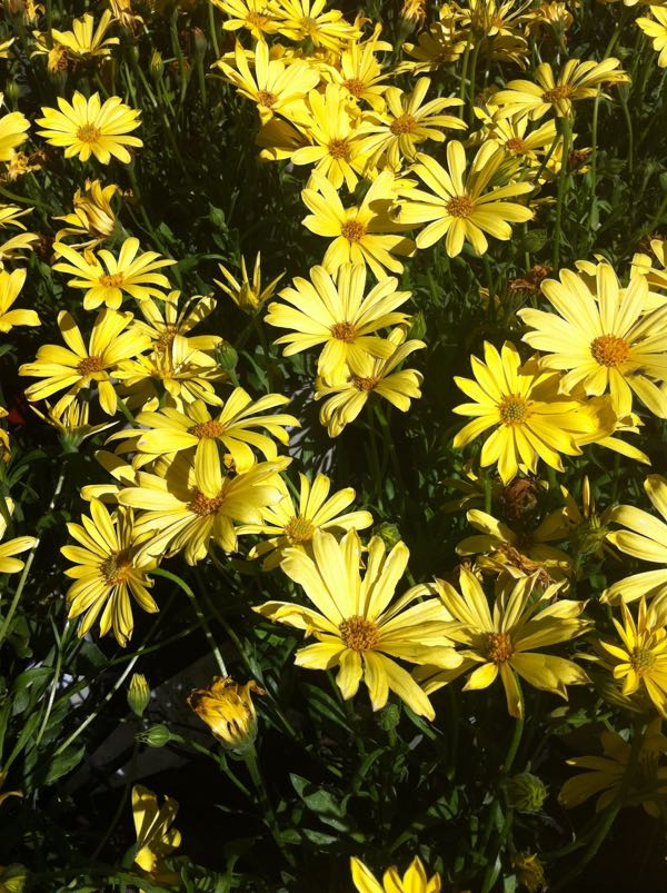 Osteospermum 'Balvoyelo' or African Daisy Voltage Yellow