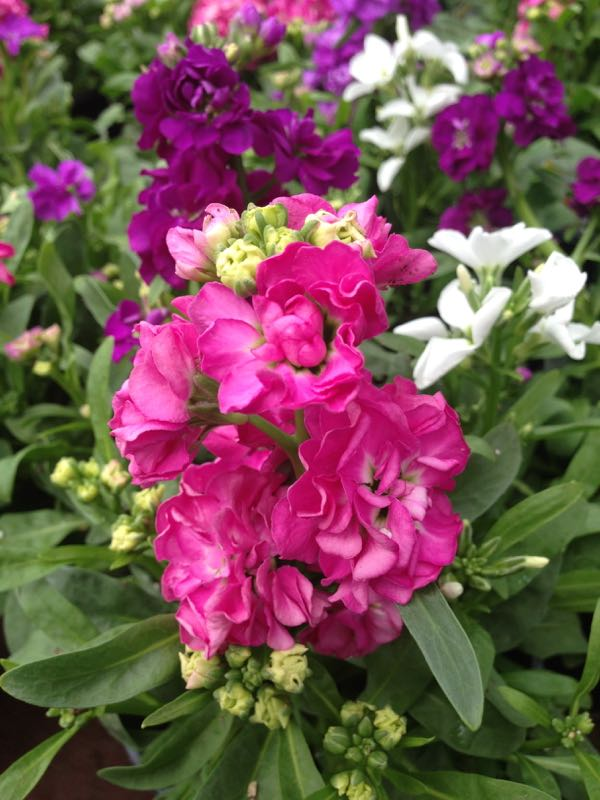 Matthiola incana or Stock
