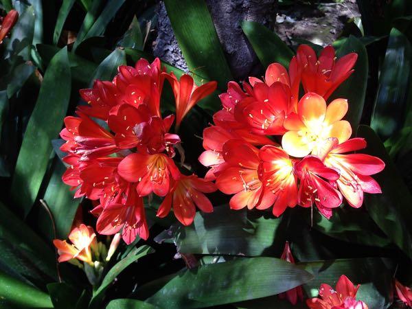 Clivia miniata or Natal Lily