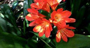 Clivia miniata or Kaffir Lily