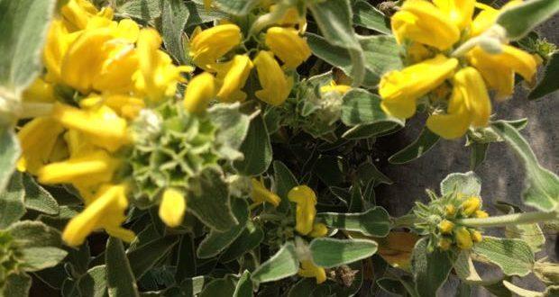 Phlomis Fruticosa Jerusalem Sage