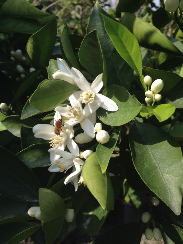 Citrus sinensis Tree