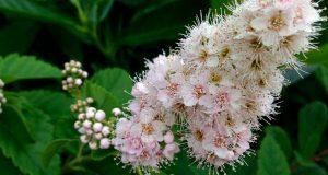 Spiraea alba or Meadowsweet