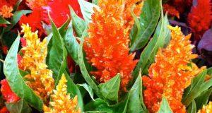 Celosia argentea 'Plumosa'