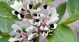 Vicia faba, or Broad Bean Plant