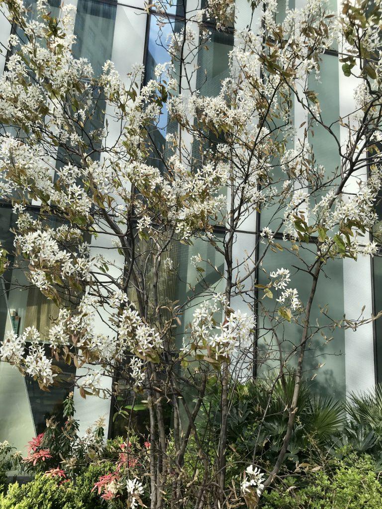 Amelanchier lamarckii - Juneberry
