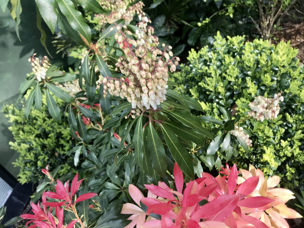 Pieris japonica, Lily of the Valley Shrub