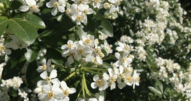 Choisya ternata, Mexican Orange Blossom