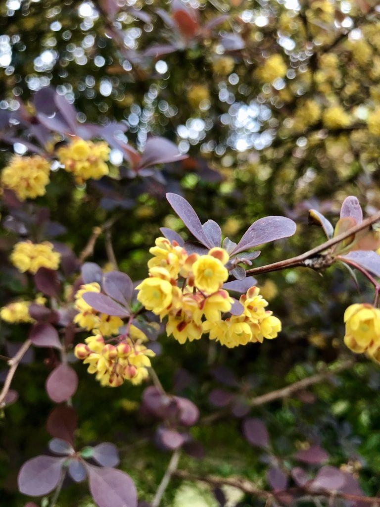 Berberis thunbergii f. atropurpurea