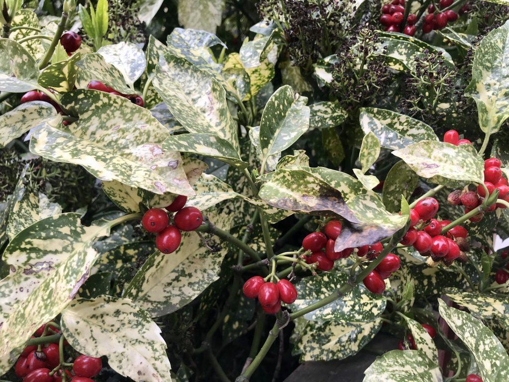 Aucuba japonica, Japanese Laurel