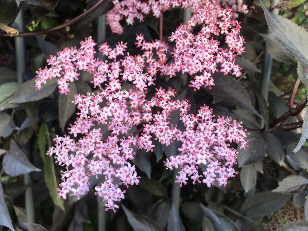 Sambucus Nigra Porphyrophylla