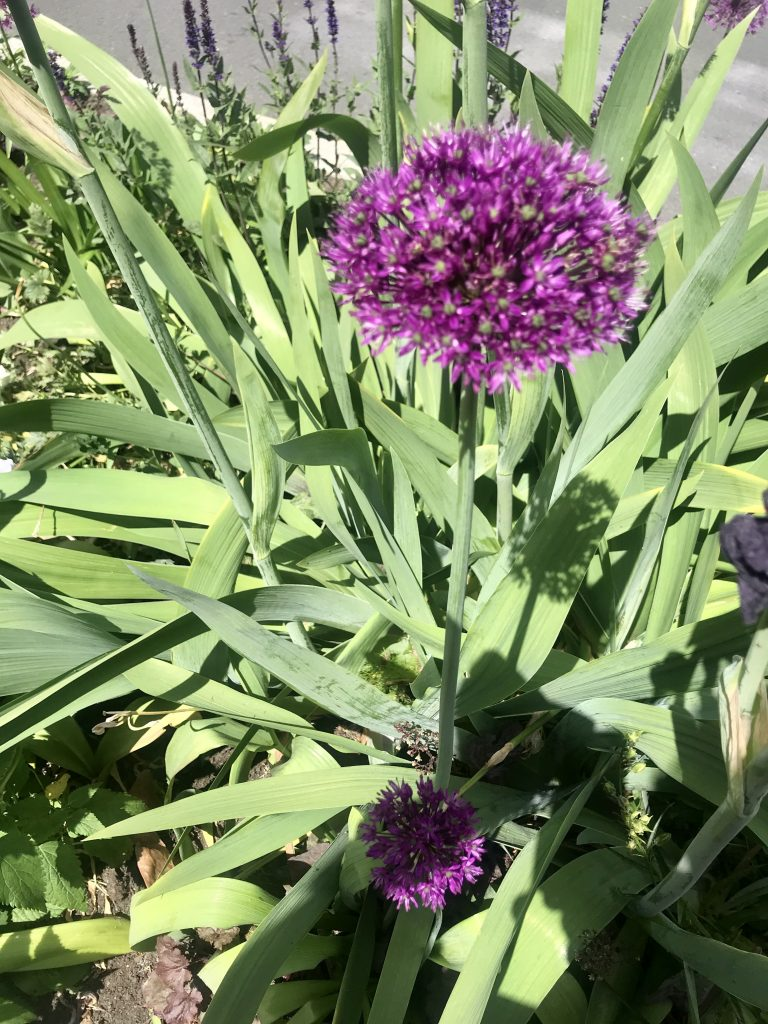Allium Ampeloprasum