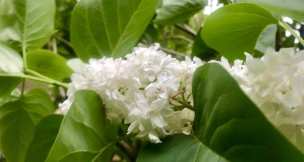 Syringa vulgaris 'Madame Lemoine'