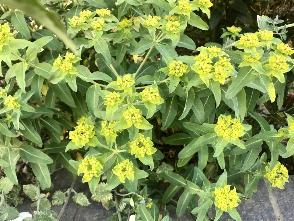 Euphorbia Epithymoides, Cushion Spurge