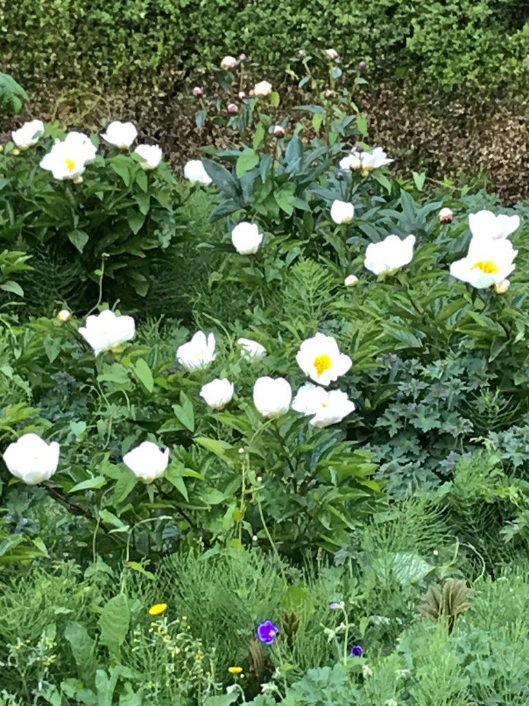Paeonia Lactiflora, Potters Field