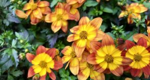 Bidens ferulifolia 'Blazing Fire'