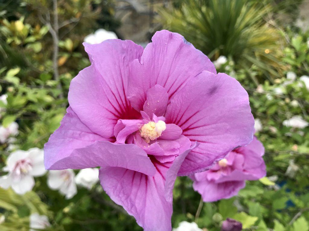Hibiscus syriacus 'Speciosus'