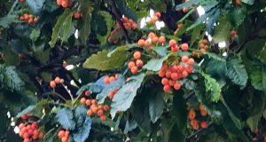 Sorbus × intermedia