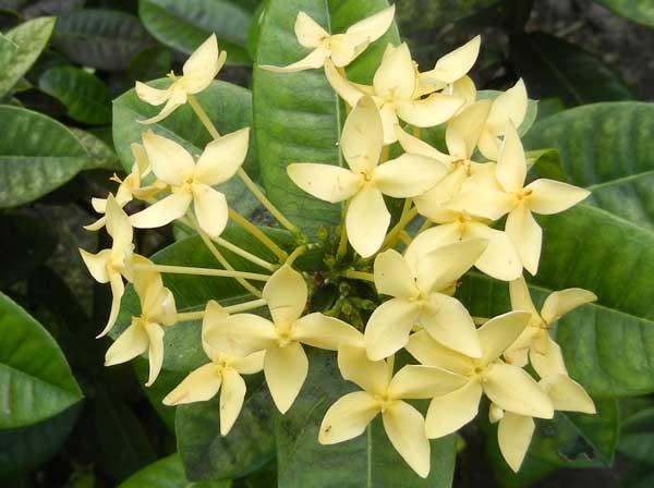 Ixora coccinea 'Yellow'