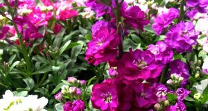 Matthiola incana, or Stock